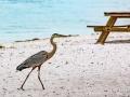 Herron on the Beach