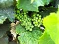 Sonoma Wine Grapes